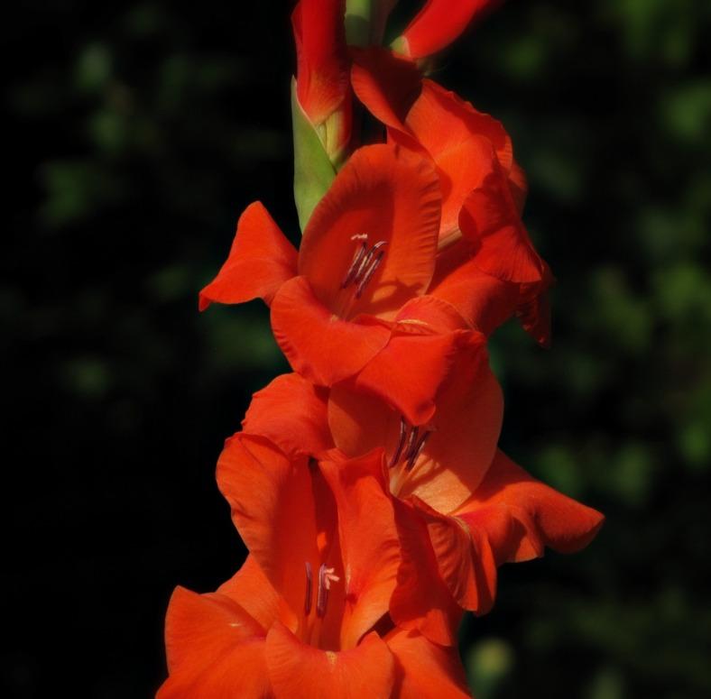Gladiolus 01
